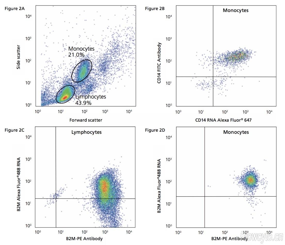 看了上面的例子,可能会有人觉得这项技术的特异性会不会不行?有意思的是,QuantiGene FlowRNA设计寡聚核苷酸探针时考虑到了这点,他们要求只有在两个相邻的目标寡聚核苷酸探针(左侧寡聚核苷 酸探针和右侧寡聚核苷酸探针)与特异靶标同时结合时才能 实现信号放大(见图3)。  再来看一个例子,在炎症反应中,脂多糖(LPS)等的刺激后血细胞被激活产 生促炎性细胞因子(如IL-1、IL-6和TNF)。通常使用流式 抗体结合流式仪来检测这些细胞因子。为了研究特定亚群细 胞的相关因子RNA转录本的表达,用LP